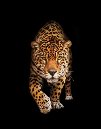 black jaguar: Spotted wild cat - Panther, looking and walking to the camera. Black background, shadows