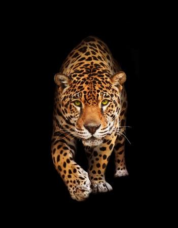 jaguar: Vista de gato salvaje - Pantera, buscando y caminar a la cámara. Fondo negro, sombras Foto de archivo