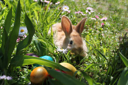 Easter bunny  hiding eggs in the garden photo