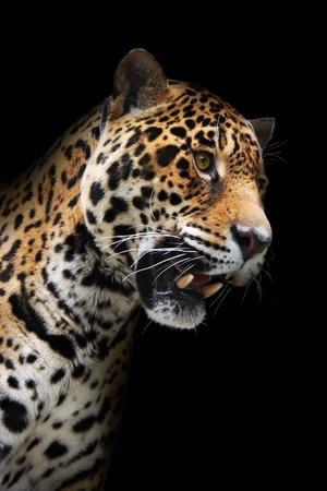 jaguar: Jaguar la cabeza en la oscuridad. Animal salvaje que muestra los dientes, fondo negro