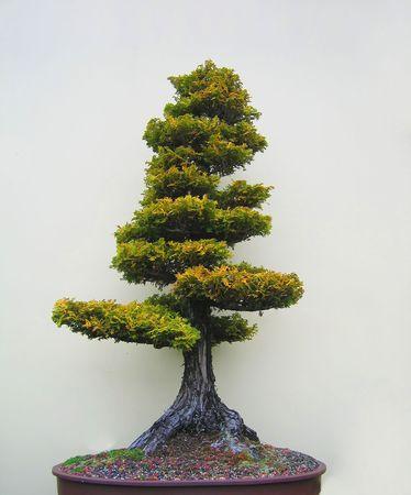 bonsai tree: Bonsai tree in an oval pot.