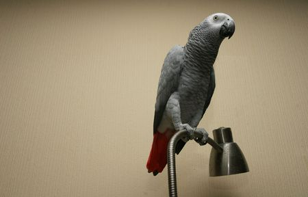 African grey parrot sitting on a lamp (Psittacus erithacus)