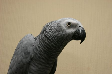 african grey parrot: Portrait of the African grey parrot (Psittacus erithacus)