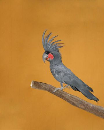 Palm cockatoo(Probosciger aterrimus) sitting on a branch Stock Photo