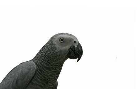 african grey parrot: African grey parrot (Psittacus erithacus) against the white