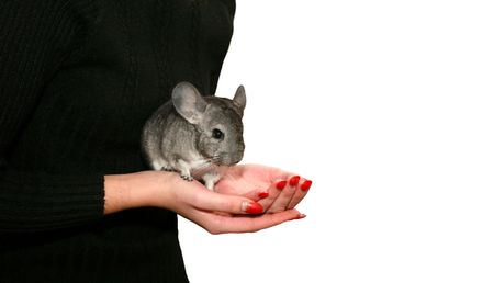 Chinchilla in the womans hand (against the white background) photo
