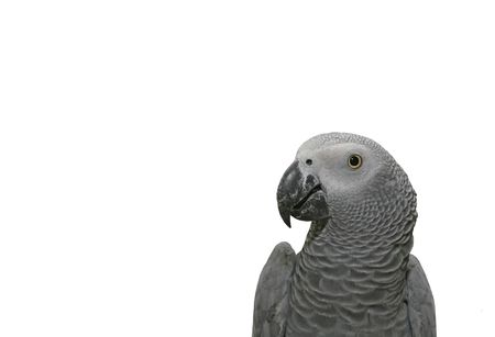 Portrait of the african grey parrot (Psittacus erithacus). Isolated on white