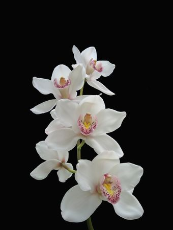 Photo of white orchids (isolated on black) Stock Photo
