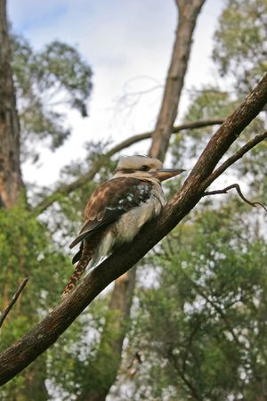 Kookaburra (Dacelo novaeguineae or Dacelo gigas) is the most famous  Ausralian bird. Photo taken at the Grampians National Park (Victoria, Australia)