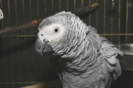 squawk: Portrait of a ruffled up parrot (African grey parrot - Psittacus erithacus)