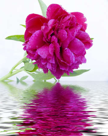 nascent: Red peony after a rain. Close up. Reflection in water Stock Photo