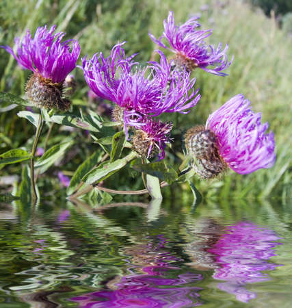 Field violet flowers close up. Reflection in water Stock Photo - 805928