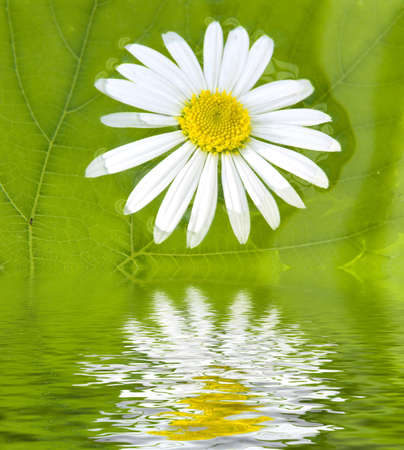 The camomile floats in water on a background of a green sheet
