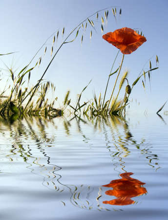 Flower of a poppy on a background of the sky. Reflection in water Stock Photo