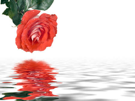 Scarlet rose on a white background. Reflection in water Stock Photo - 856379