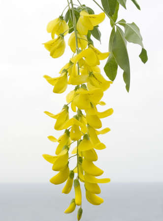 Flower of a yellow acacia on a background of sea horizon