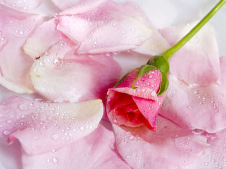 The flower of a rose lays on petals floating in water