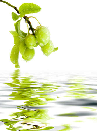Branch green plums with leafs and drops of water. Reflection in a reservoir