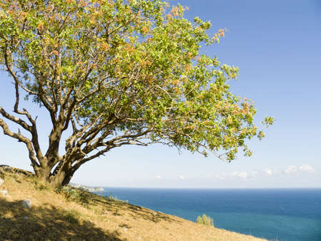 Pistachio tree on a background of the sky with the sea on a background Stock Photo