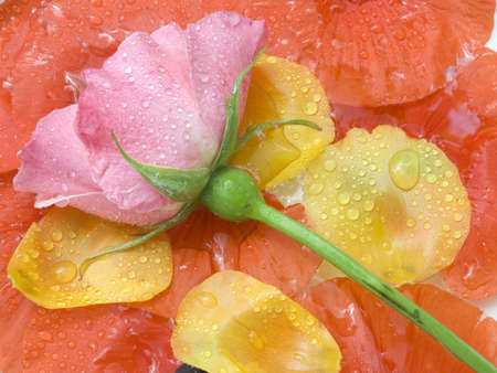 Pink rose on a background of petals of a poppy with drops of water Stock Photo