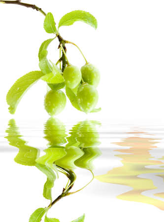 splendid: Branch green plums with leafs and drops of water. Reflection in a reservoir