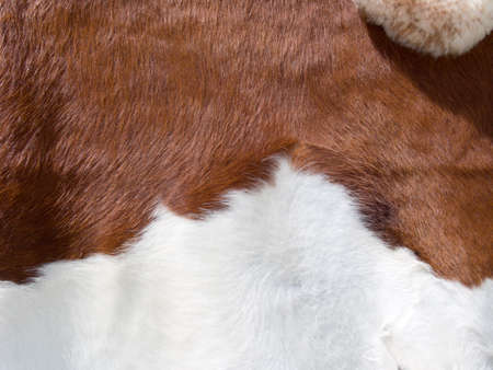 brown and white real cow skin texture