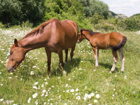 The horse and foal eat a grass on a pasture Stock Photo
