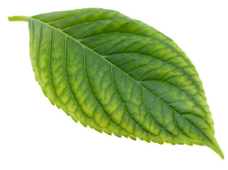 green leaf on a white background it is isolated
