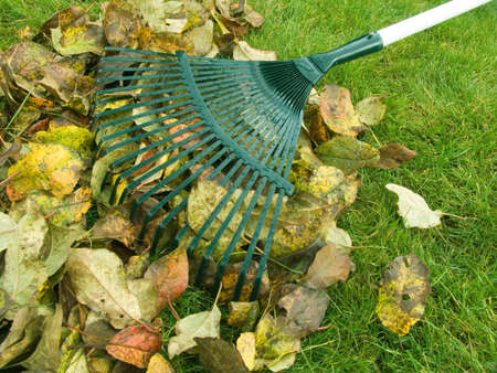 Cleaning of autumn leaves on a green lawn Stock Photo - 3839011
