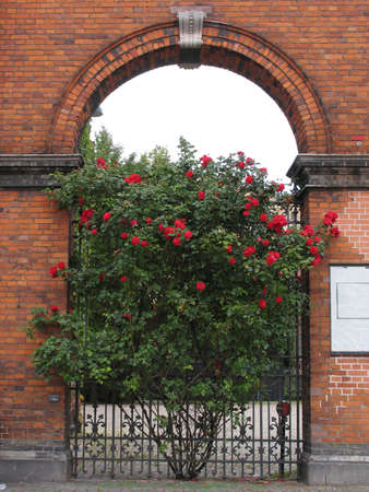 Bush with roses in an arch of a brick house Stock Photo - 3839010