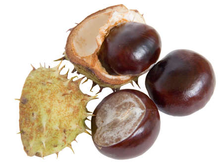 The great English Conker (Horse Chestnut) about to break from its shell on white photo