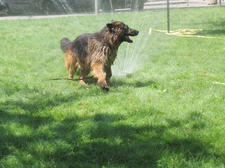 lawn sprinkler: Bathing dog on a hot day
