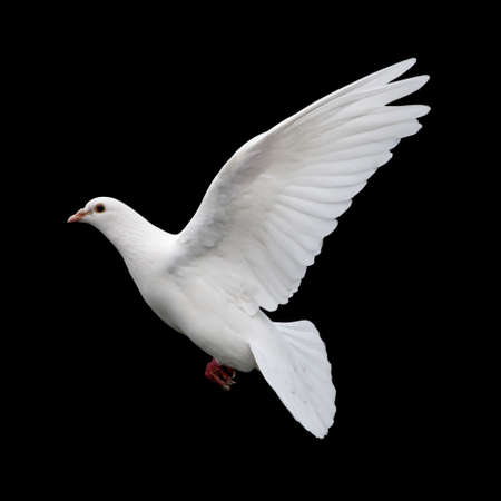 white dove: White Dove in Flight 11. A free flying white dove isolated on a black background. Stock Photo