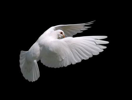 paloma: Blanca Paloma en Vuelo 10. Un vuelo libre aislados paloma blanca sobre fondo negro.  Foto de archivo