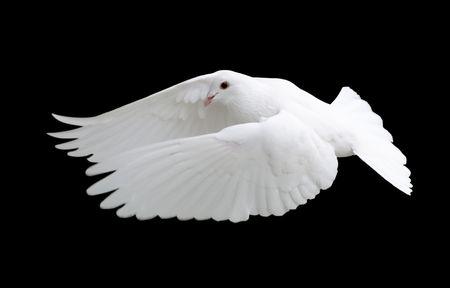 with white: White Dove in Flight 12 Stock Photo