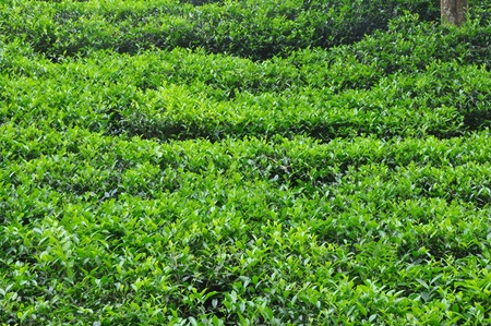 tea cultivation in south india photo