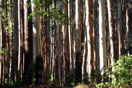 arboles frondosos: árboles de eucalipto en las colinas de Nilgiri Western Ghats Tamil Nadu