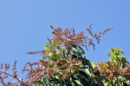 mango flowers and buds Stock Photo - 12650704