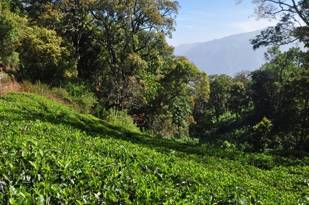 South Indian Tea Gardens Tamil Nadu photo