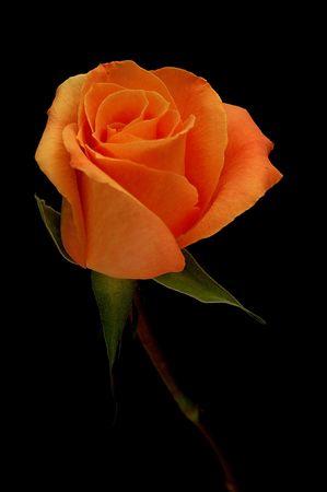 Peach Hybrid Tea Rose Stock Photo