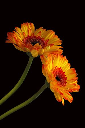 Gerber Daisies on a black background.