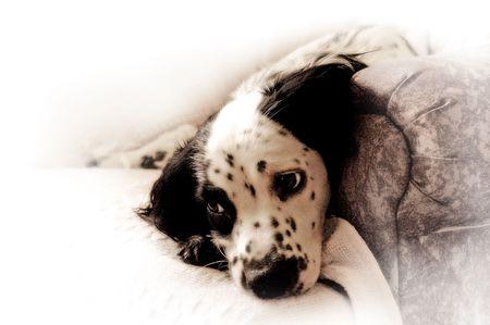 springer: Springer Spaniel Pup