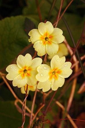 primula: Wild Primroses (Primula vulgaris)