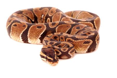 royal python: Royal python