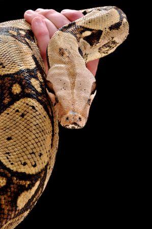 royal python: Royal Python Stock Photo