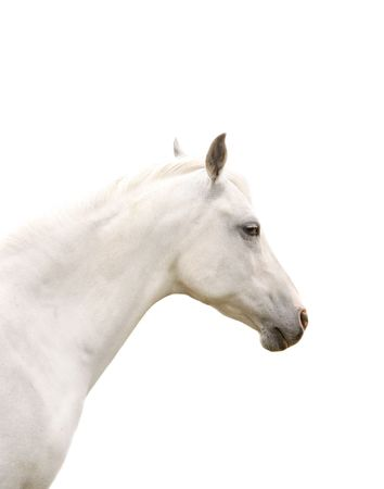 Portrait of a White Horse Isolated