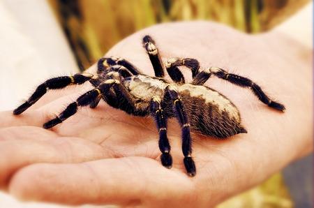 Big pet tarantula Stock Photo