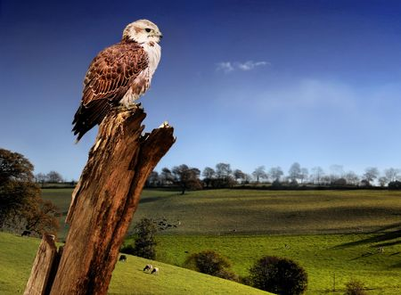 Falcon over looking the countryside