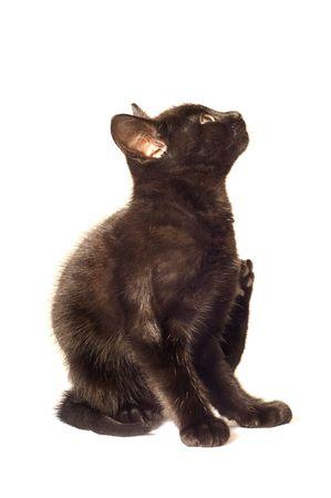 Young kitten scratching itself