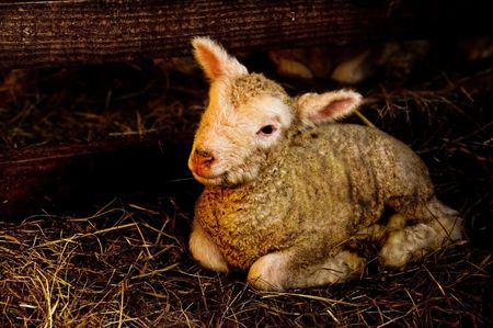 lambing: New born lamb (3 hours old) in lambing enclosure.  Stock Photo